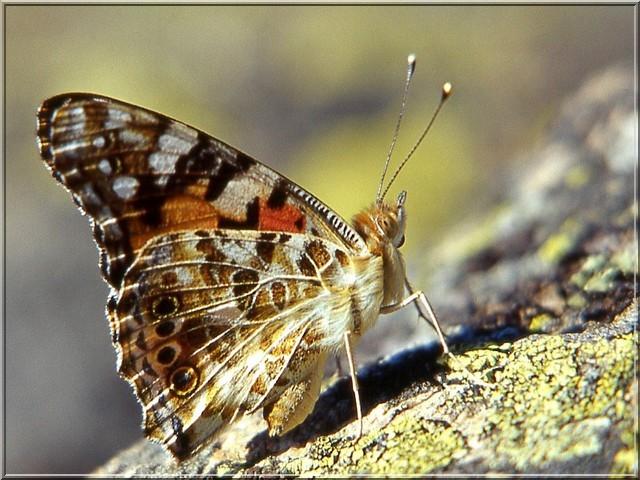 papillon cynthia cardui vanessa cardui la belle dame